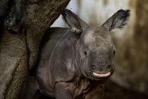 Endangered Indian Rhino Gives Birth to a Female Calf at Polish Zoo