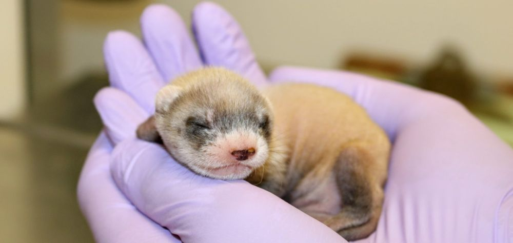 Birth of World's First Cloned Black-Footed Ferret