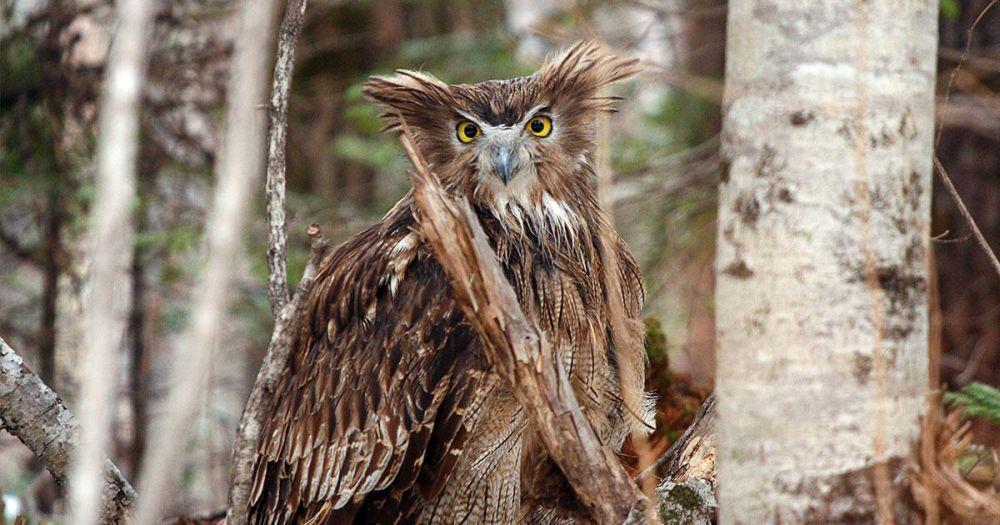 Blakiston's fish owl: World's Biggest Owl is Endangered Due to Habitat Loss