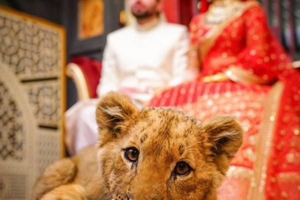 Pakistani Couple Criticized for Using Sedated Lion Cub as Wedding Photoshoot Prop