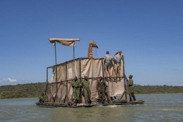 Successful Rescue of Stranded Giraffes on Island in Kenya's Lake Baringo