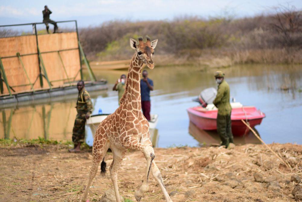Successful Rescue of Stranded Giraffes on Island in Kenya's Lake Baringo