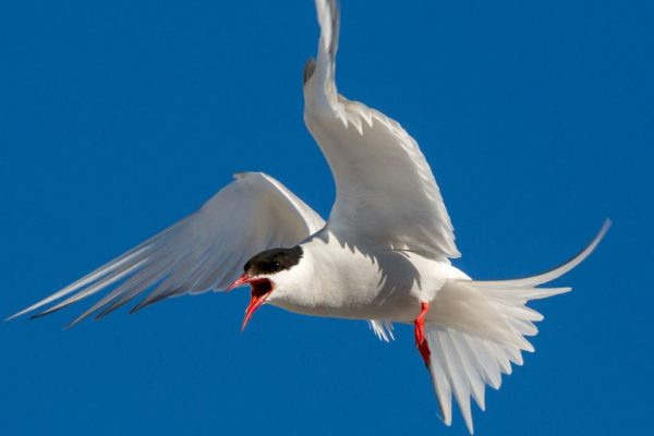 Climate Change Threatens Existence of Arctic Tern Bird in Europe
