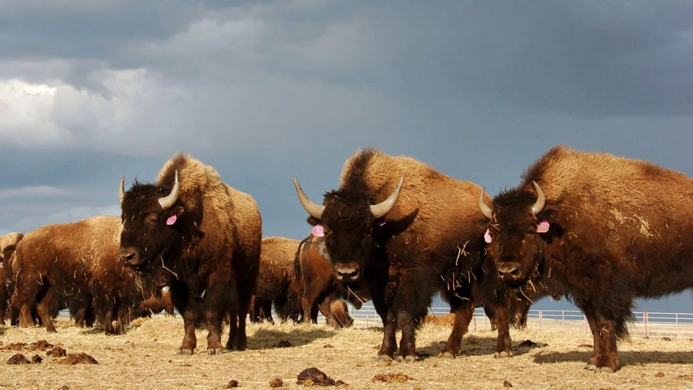 National Park Service Requests Volunteers to Kill Bison Overpopulation in Grand Canyon