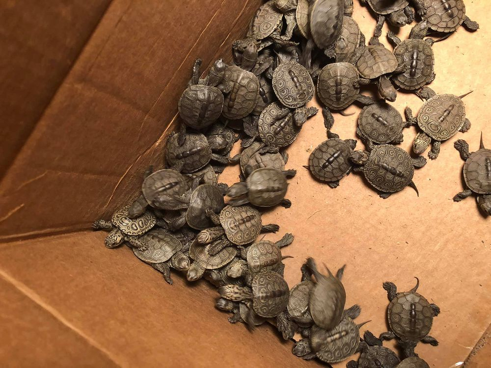 Over 800 Baby Turtle rescued from Drain near New Jersey Shore