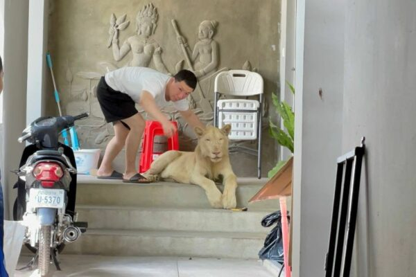 Pet Lion Confiscated in Cambodia after Appearances on TikTok Videos