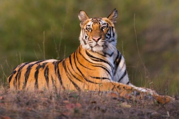 Rajasthan to Connect Three of its Tiger Reserves via Wildlife Corridor